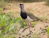 Lapwing by jeenie11, photography->birds gallery
