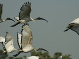 Sacred Ibis by hermanlam, Photography->Birds gallery