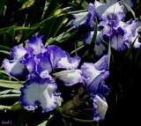 Iris Garden Lovelies by tigger3, photography->flowers gallery