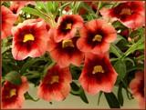 Monkey Flower by trixxie17, photography->flowers gallery