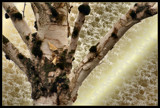 Birch Tree Beauty by verenabloo, Photography->Manipulation gallery