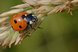 Ladybird by MJsPhotos, photography->insects/spiders gallery