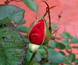 Red Rosebud 5 by gandarva, photography->flowers gallery