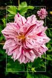 Dahlia Show 31 by corngrowth, photography->flowers gallery