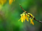 Foofy Friday Forsythia by braces, Photography->Flowers gallery
