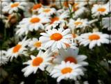 Daisy Daisy . . . by trixxie17, photography->flowers gallery
