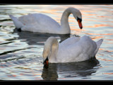 Swans by JQ, Photography->Birds gallery