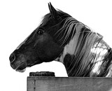 The Eye Of The Stallion by LakeMichigan, contests->b/w challenge gallery