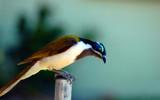 Blue Faced Honeyeater by Samatar, Photography->Birds gallery