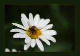 Daisy vs Bee by dmk, Photography->Macro gallery