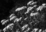 Chrysanthemum leucanthemum by luckyshot, contests->b/w challenge gallery