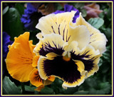 Pansy Series - 7 by trixxie17, photography->flowers gallery