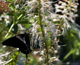 The Eastern Black Swallowtail #2 by tigger3, photography->butterflies gallery