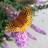 It's Called a Butterfly Bush for a Reason by Pistos, photography->butterflies gallery