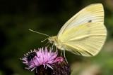 A guest for dinner by Paul_Gerritsen, Photography->Butterflies gallery