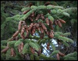 Pine cones by GIGIBL, photography->nature gallery