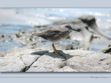 Sandpiper by Samatar, Photography->Birds gallery