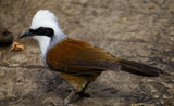 Male Laughingthrush by Pistos, photography->birds gallery