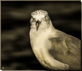 Scavenger Bird by tigger3, contests->b/w challenge gallery