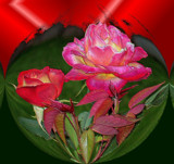 Flaming Passion Roses by verenabloo, Photography->Manipulation gallery