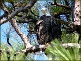 Significance {Bald Eagle} by madmaven, Photography->Birds gallery