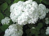 Hydrangea arborescens by OBEY, Photography->Flowers gallery