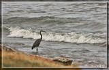 Lake Erie Heron by Jimbobedsel, photography->birds gallery