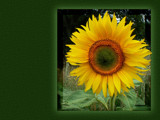 Flower of The Sun by LynEve, Photography->Flowers gallery