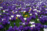Field of Crocuses by rozem061, Photography->Flowers gallery