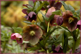 Hellebore by tigger3, photography->flowers gallery