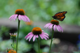 Monarch on Cone Flower by wheedance, photography->butterflies gallery