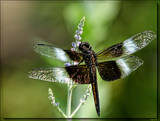 The Widow Skimmer (Libellula luctuosa) by tigger3, photography->insects/spiders gallery