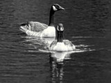 Geese by Eubeen, contests->b/w challenge gallery