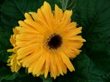 Sunshine for Friday by Starglow, photography->flowers gallery