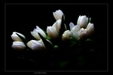 some Tulips by kodo34, Photography->Flowers gallery