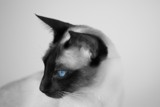 Blue Eyes by mlor, photography->pets gallery
