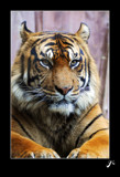 Panthera tigris by gse1978, Photography->Animals gallery