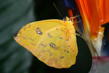 Yellow on Orange by rahto, Photography->Butterflies gallery