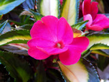 Sunpatiens 'Tropical Rose' by trixxie17, photography->flowers gallery