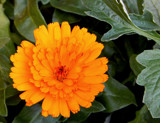 Calendula by trixxie17, photography->flowers gallery