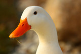 Now For Your Close-Up For Your Aflac Audition by tigger3, Photography->Birds gallery