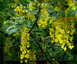 Old Laburnum Gold by LynEve, photography->flowers gallery