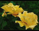 Lemon Yellow ! by verenabloo, Photography->Flowers gallery