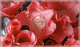Inner Glow by trixxie17, photography->flowers gallery