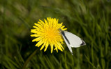 Cabbage White Dandy by slybri, photography->butterflies gallery