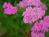 Fuschia Yarrow by metpin777, Photography->Flowers gallery