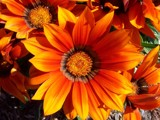 Gazanias by LynEve, Photography->Flowers gallery