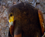 Harris Hawk by jeenie11, photography->birds gallery