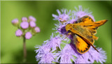 The Woodland Skipper by tigger3, photography->butterflies gallery