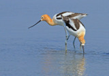 American Avocets # 2 by PatAndre, photography->birds gallery
